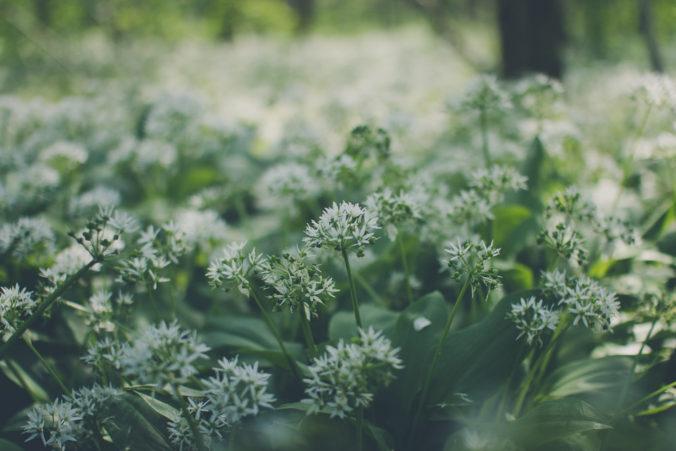 Czosnek dziki (Allium ursinum)