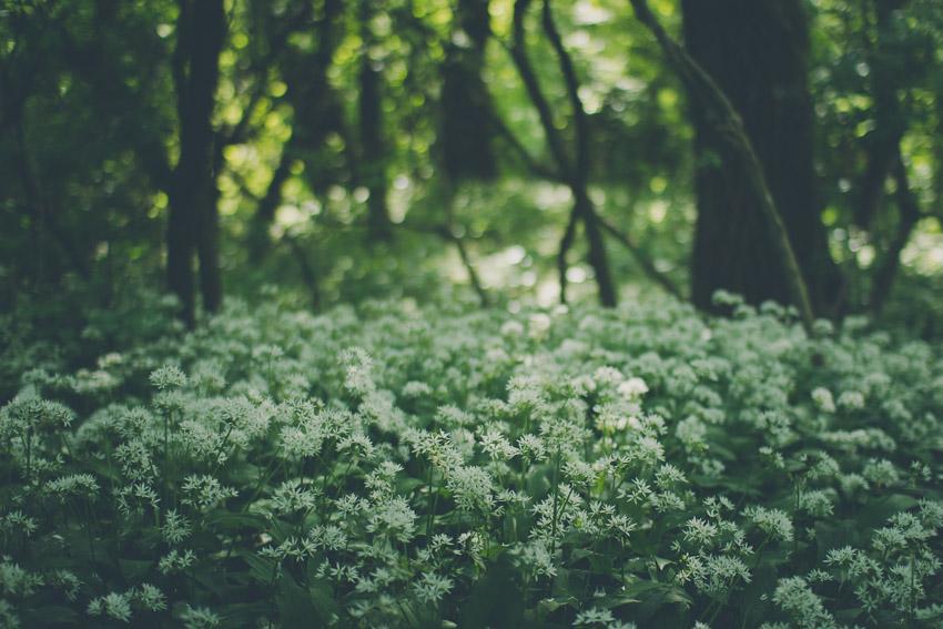 Kwitnący czosnek niedźwiedzi w lesie